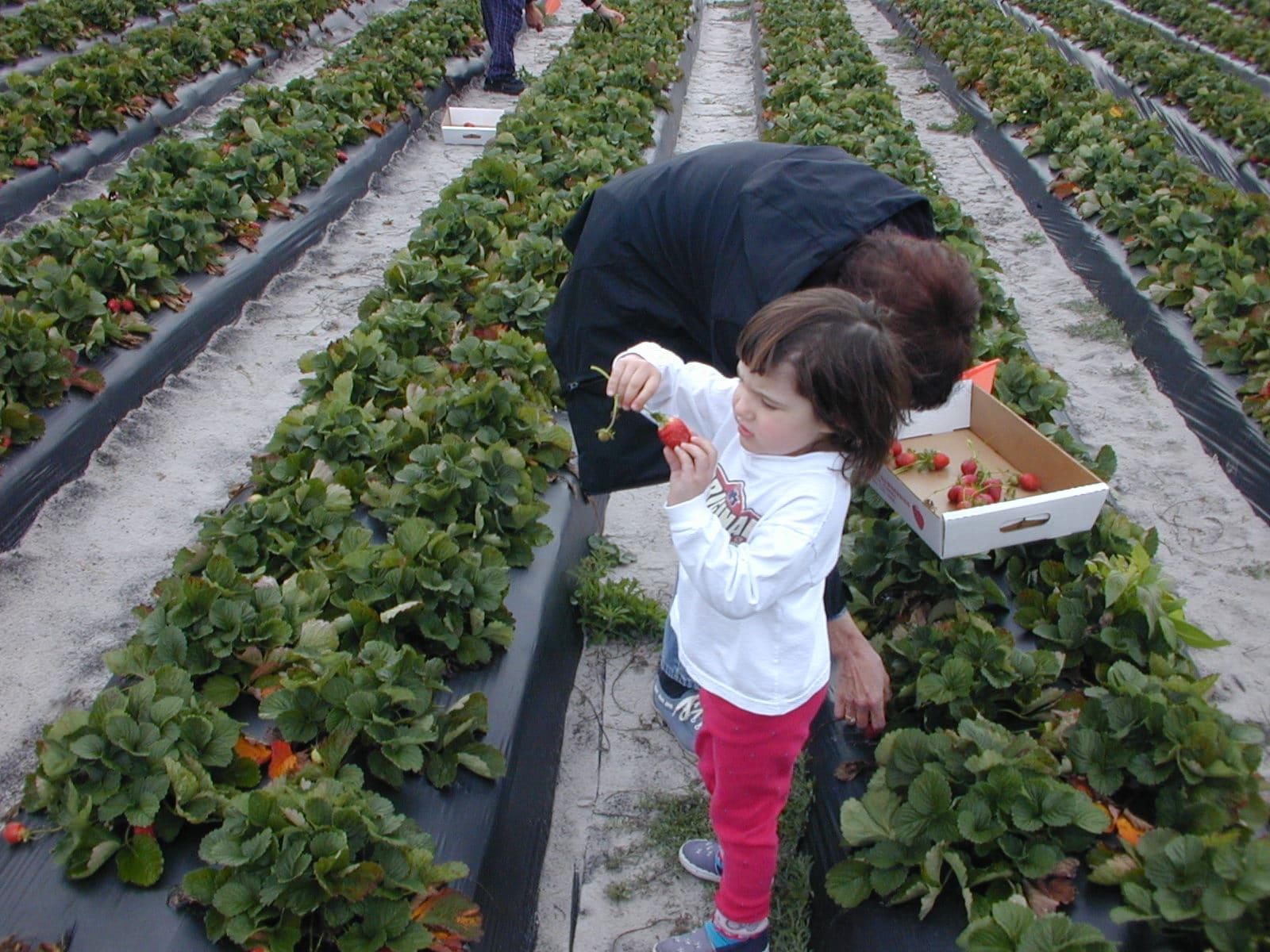 Выращивание клубники в теплице, голландская технология