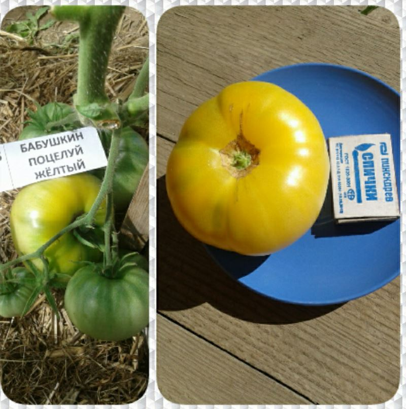Выращивание томата бабушкин секрет