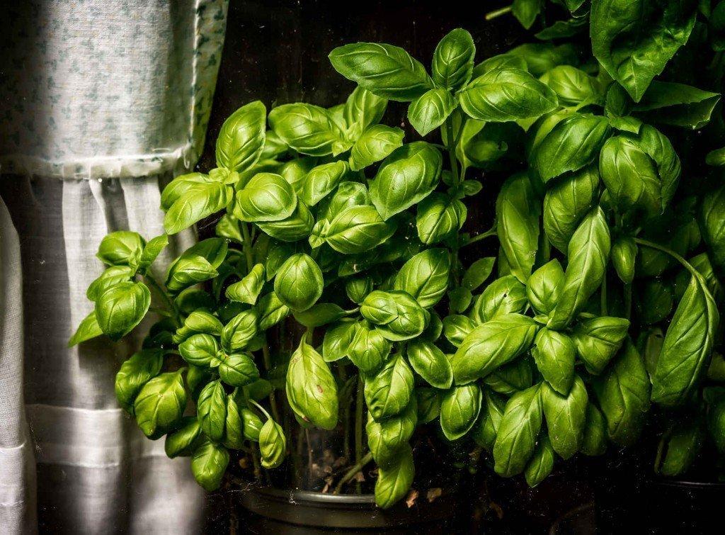 Базилик на подоконнике: от семян до богатого урожая пошагово