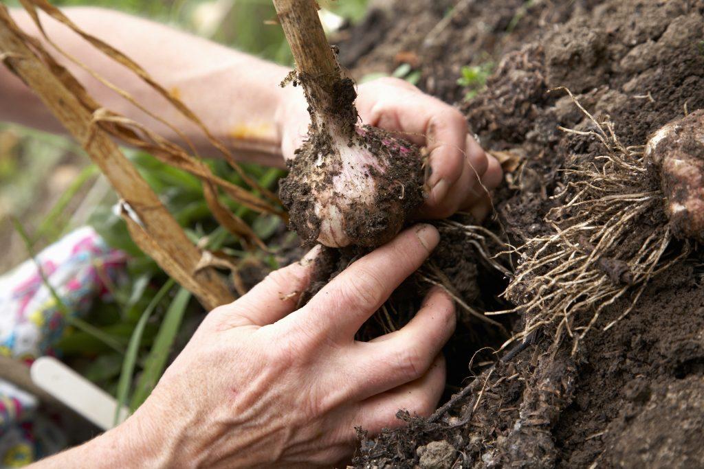 Когда собирать урожай чеснока посаженного под зиму в 2020 году: сроки