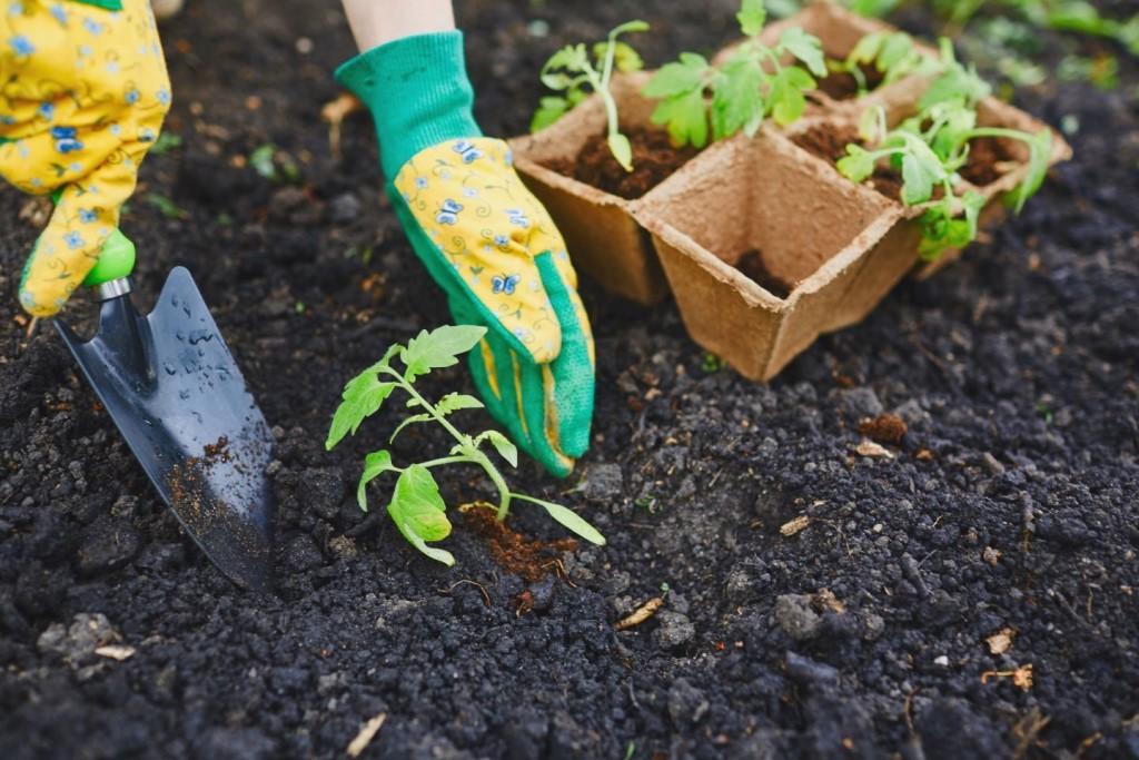 Каладиум - фото, уход в домашних условиях, посадка, описание растения, размножение цветка
