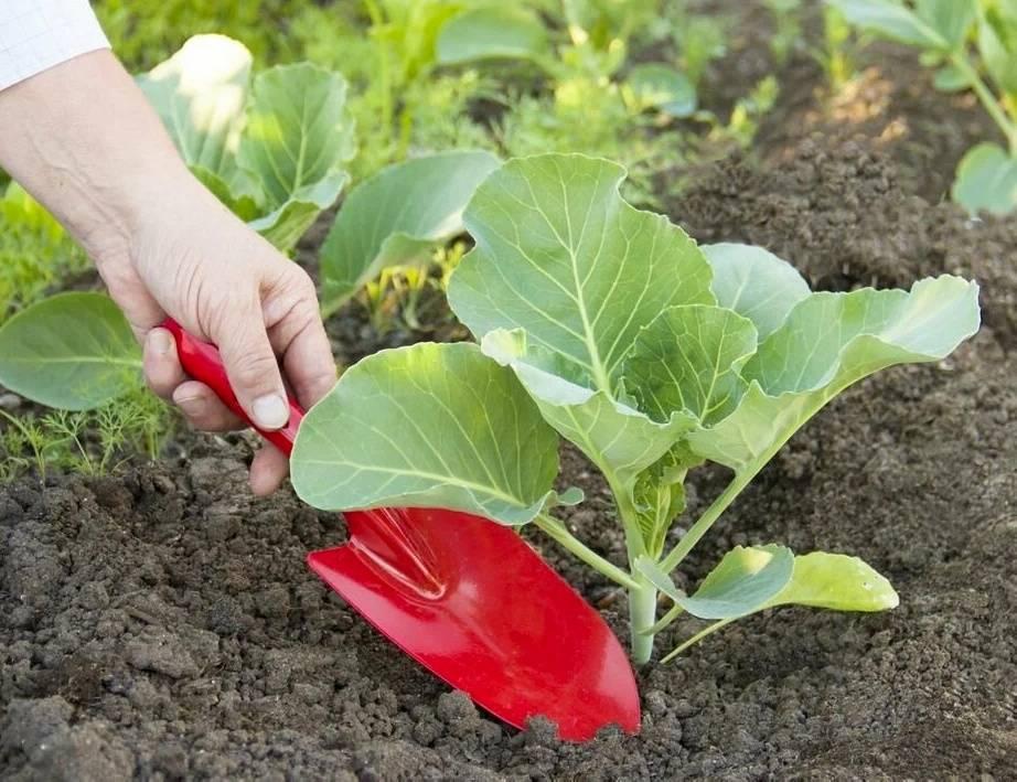 Особенности подкормки цветной капусты