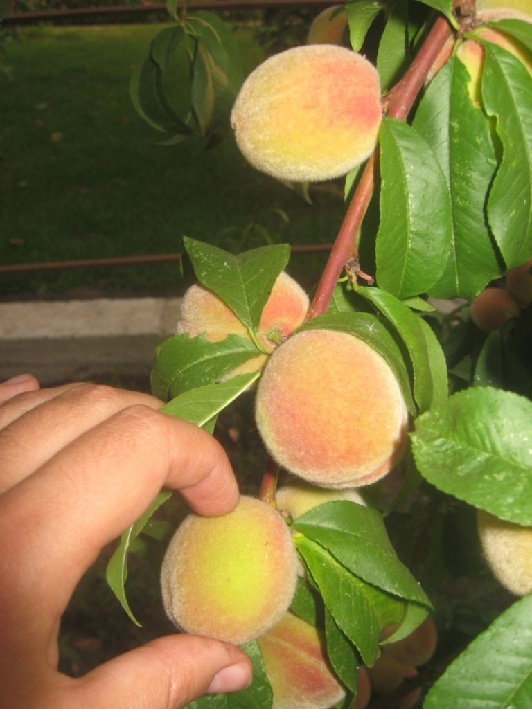 Описание лучших сортов персика для подмосковья, посадка и уход в открытом грунте