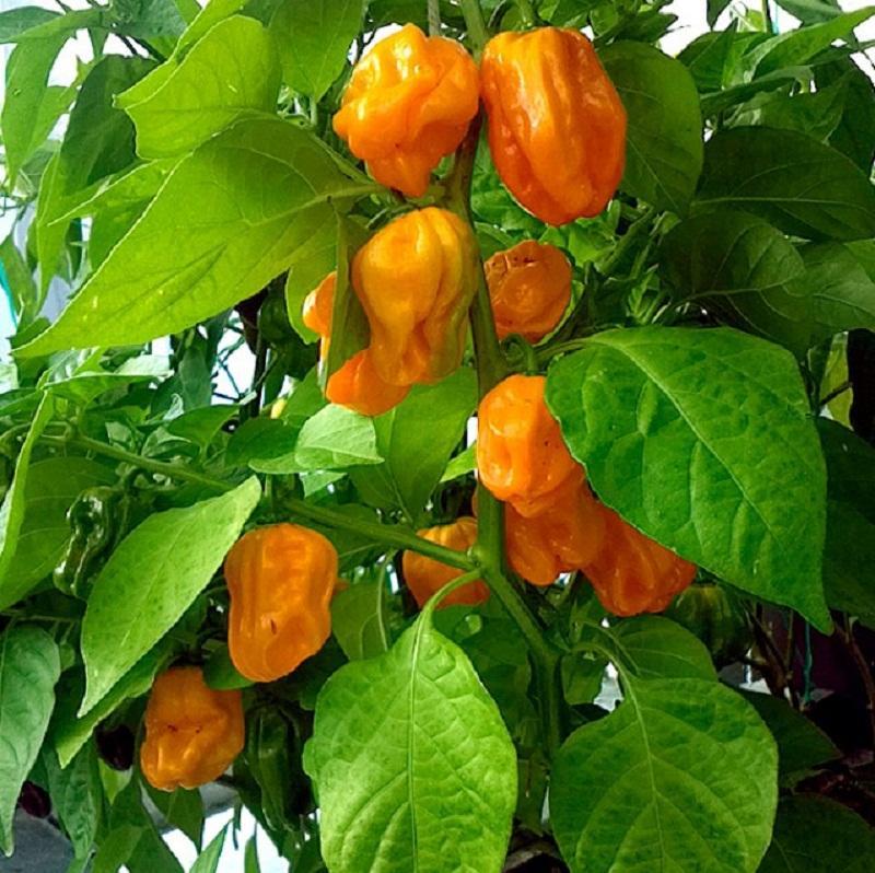 Описание и выращивание перца хабанеро