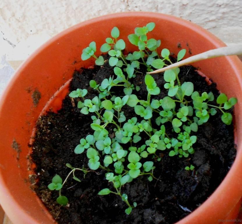Зира: выращивание из семян, посадка и уход на даче в открытом грунте и в домашних условиях, подготовка почвы и семя, посев, сбор урожая