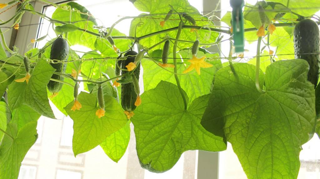 Подкормка огурцов, выращиваемых на балконе или подоконнике