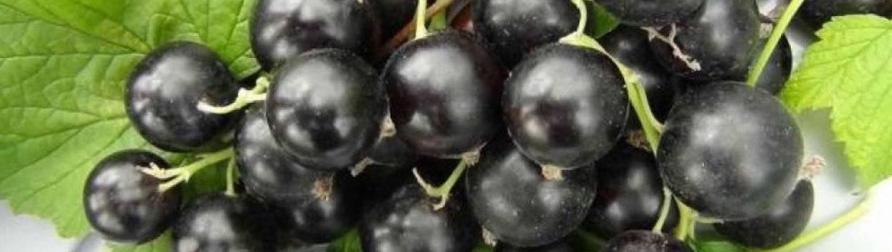 Особенности сорта черной смородины ядреная
