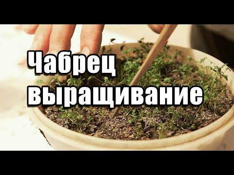 Тимьян: выращивание из семян в открытом грунте, фото