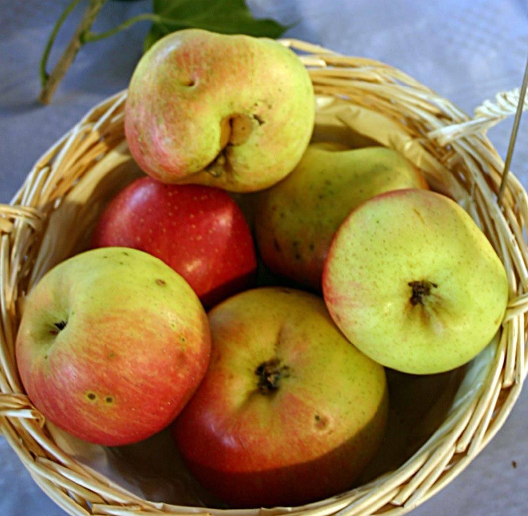 Описание сорта яблони аркадик: фото яблок, важные характеристики, урожайность с дерева