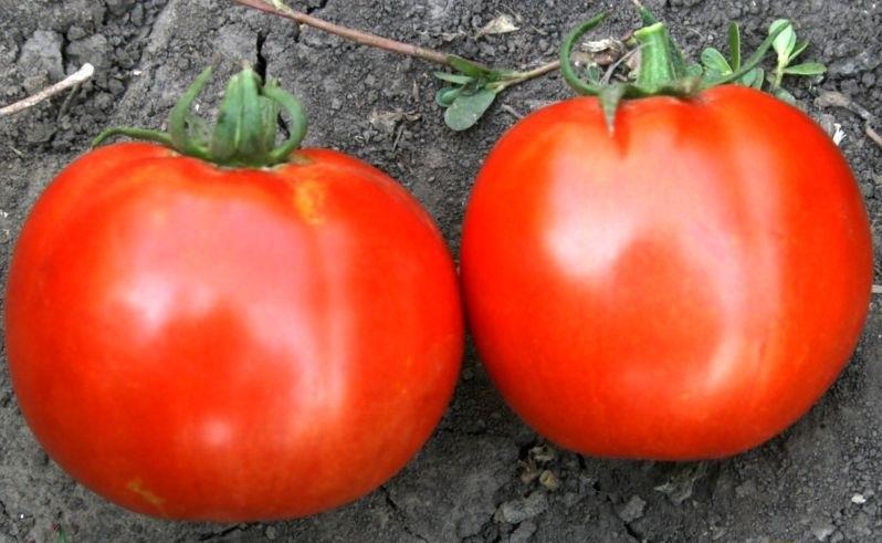 Скороспелый сорт для грядок и парников — томат волгоградский ранний: полное описание помидоров