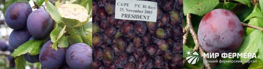 Слива президент: описание сорта, правила ухода и советы по выращиванию