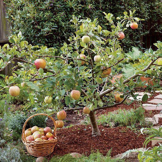 Карликовые деревья для сада. как вырастить карликовый сад. информационный строительный сайт |