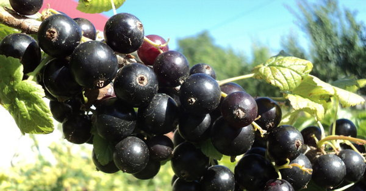 Смородина черная жемчужина - описание сорта