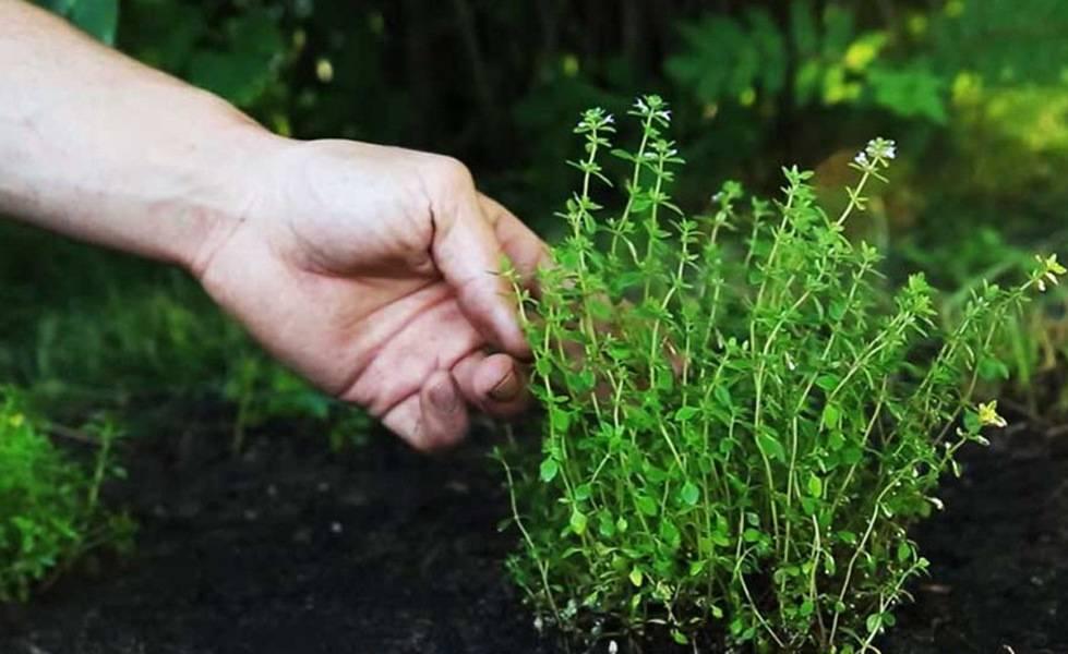 Выращивание тимьяна из семян и размножение черенками, посадка и уход в открытом грунте