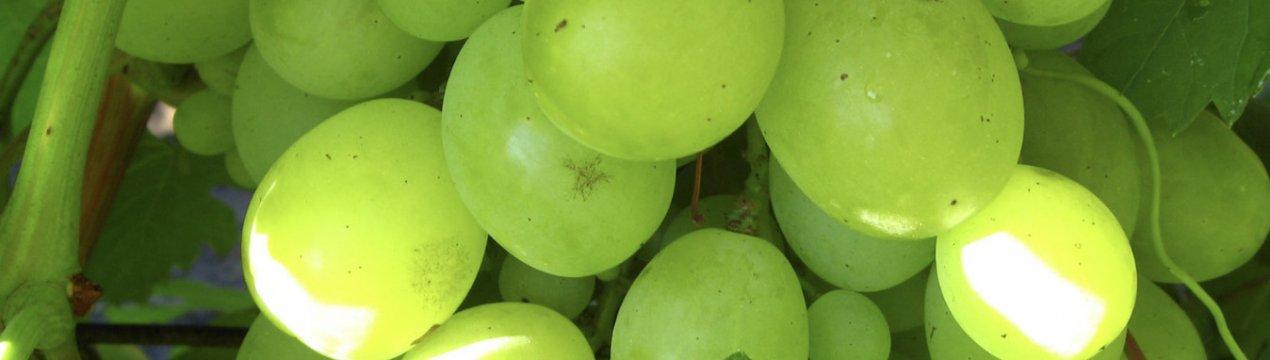 Гармония вкуса и отрада для души: виноград сорта «монарх»
