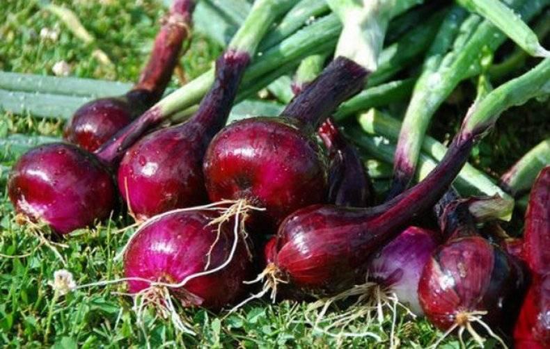 Красный лук кармен – как правильно выращивать
