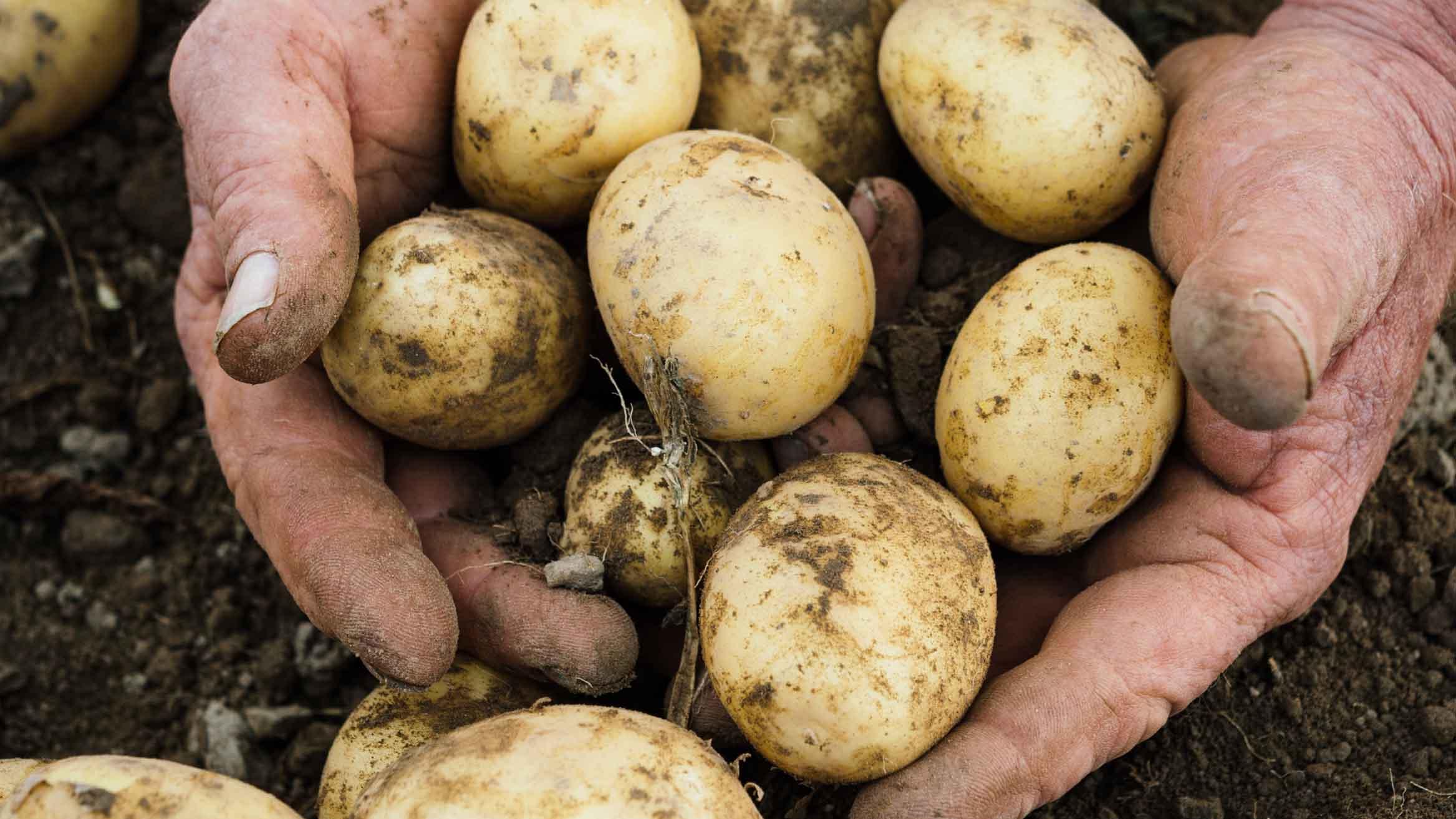 Описание и характеристика сорта картофеля Чародей