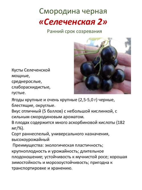 Черная смородина селеченская и селеченская-2: описание сорта, фото