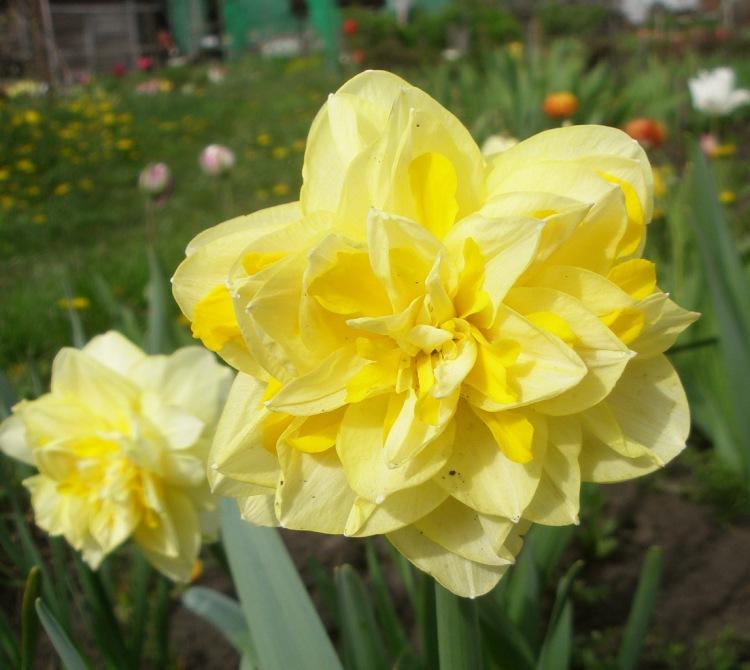 Нарциссы (99 фото): посадка цветка и уход в открытом грунте. что делать после цветения со стеблями? почему не цветет в саду? выращивание и размножение