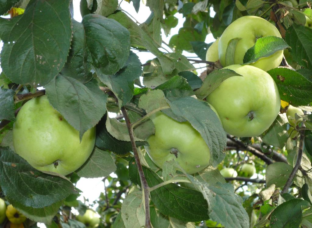 Описание и подвиды сорта яблони Антоновка, правила посадки и ухода