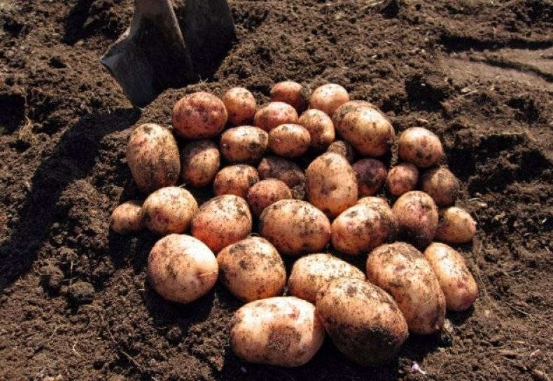 Картофель сорта журавинка – характеристики и описание + видео