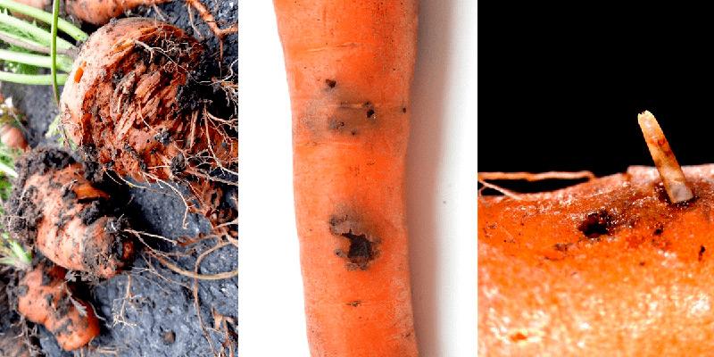 Болезни и вредители моркови и борьба с ними, фото