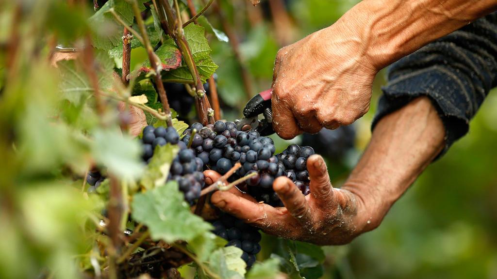 """Виноград """"валек"""": описание и фото сорта, уход и посадка selo.guru — интернет портал о сельском хозяйстве"""