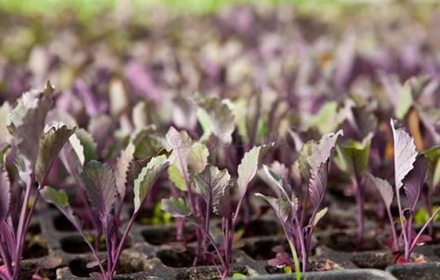 Савойская капуста: выращивание на огороде, сорта