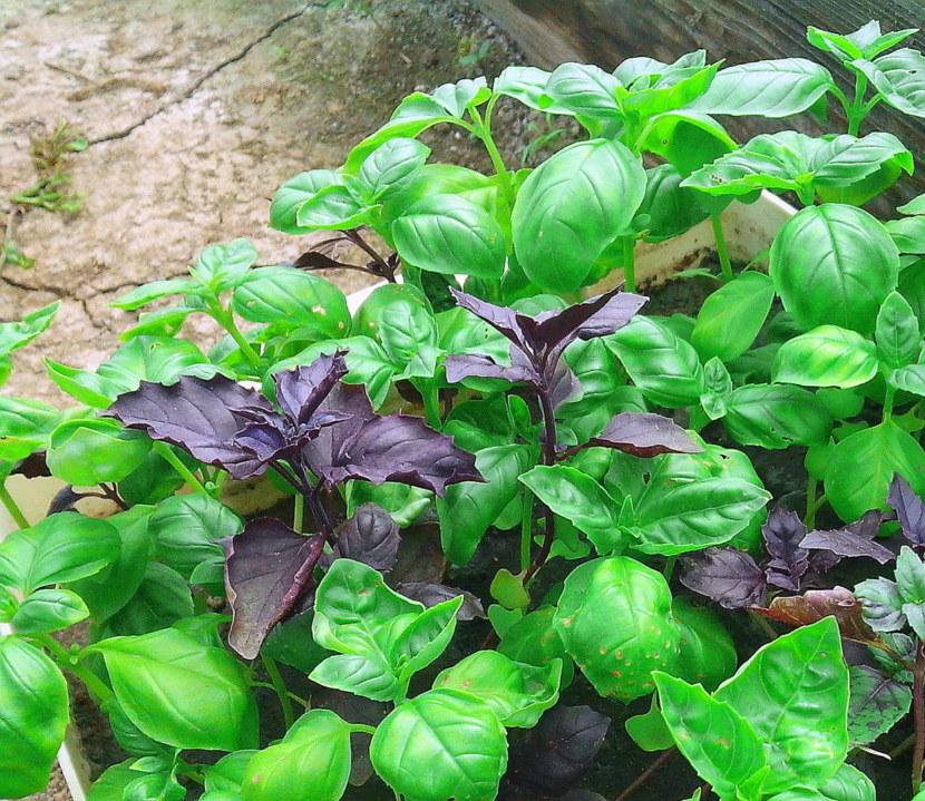 Высаживать базилик в открытый грунт рассадой: когда, куда и как это правильно делать, можно ли заглублять, а также каковы особенности выращивания? русский фермер