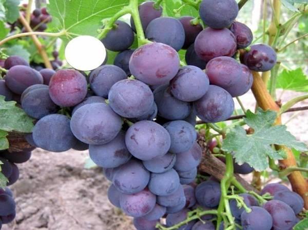 Болезни и вредители винограда: описание и меры защиты