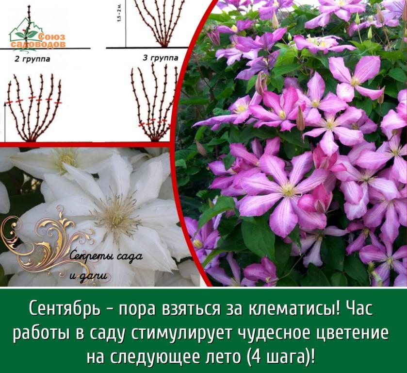 Как заставить клематис пышно цвести - декоративные цветы и кустарники - смолдача - портал дачников, садоводов и любителей загородной жизни