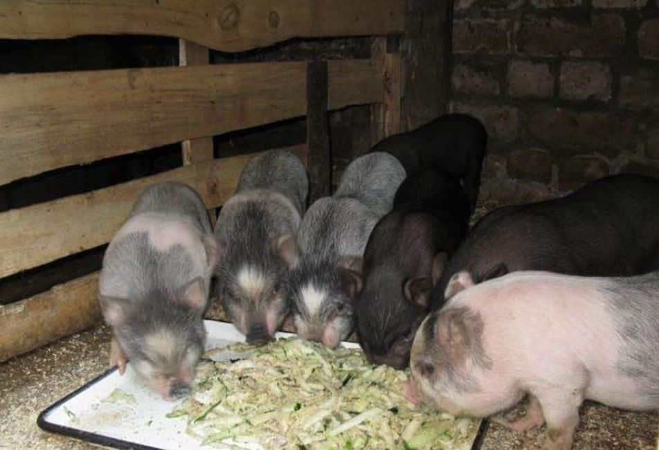 Вьетнамские вислобрюхие свиньи — преимущества породы и особенности содержания. сарай, кормление, потомство. фото — ботаничка.ru