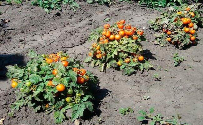 Стойкий сорт для суровых погодных условий — знаменитый томат «гордость сибири»