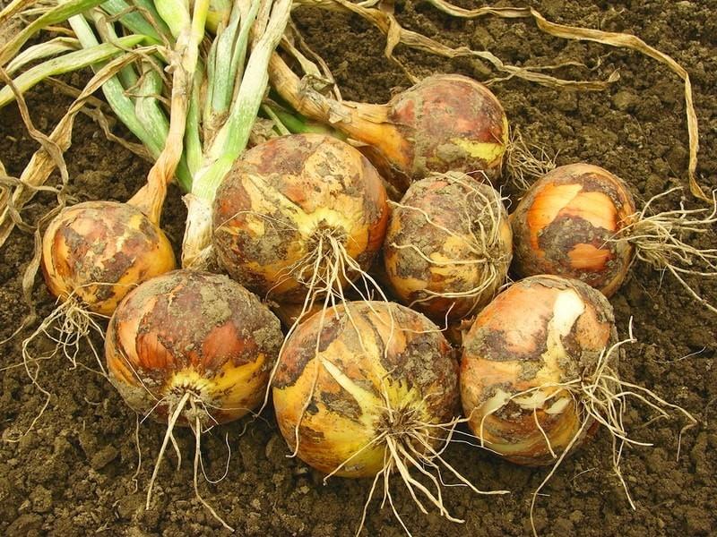 Как посадить лук севок