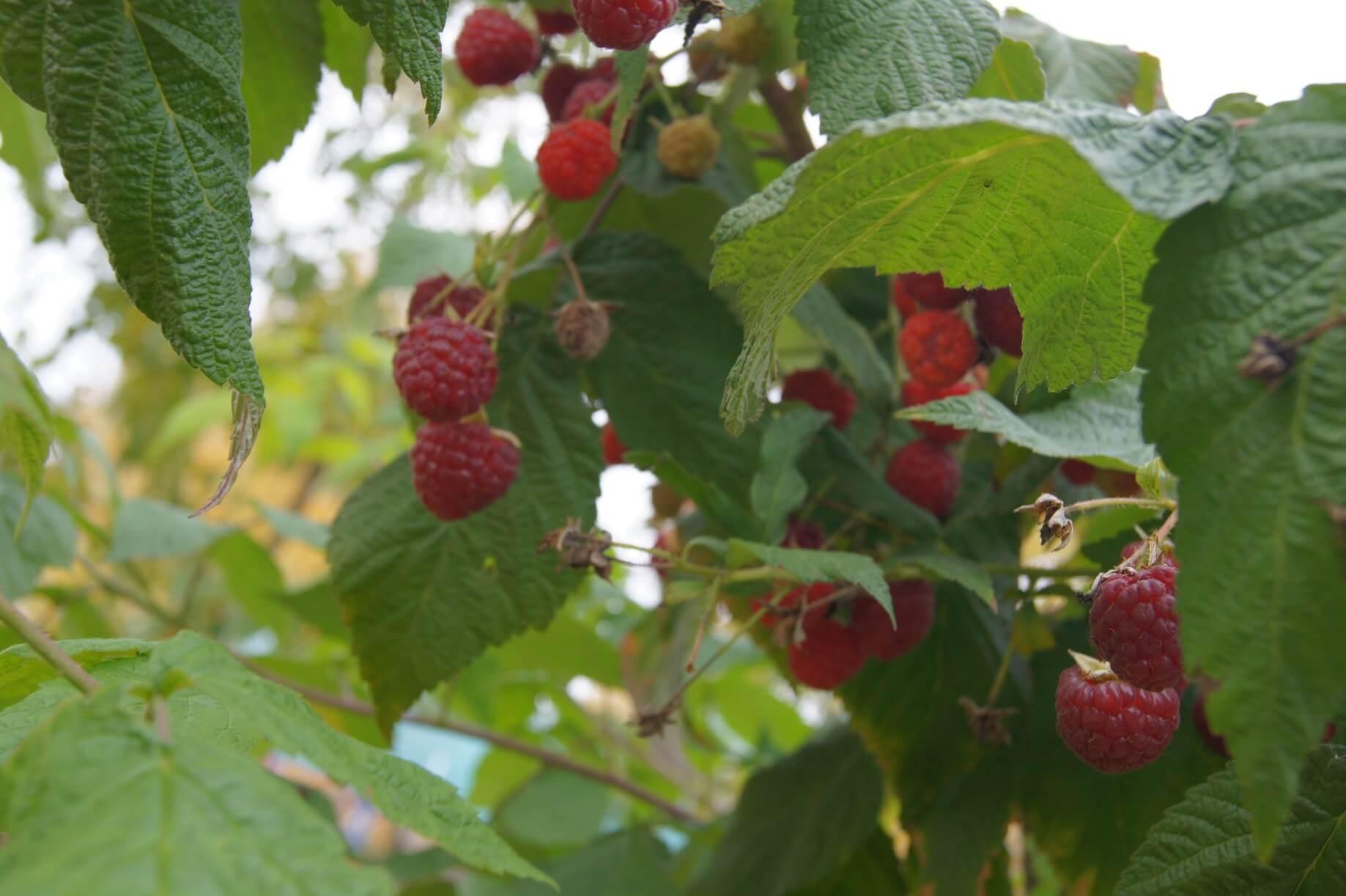 Малина бабье лето: описание сорта, посадка и уход