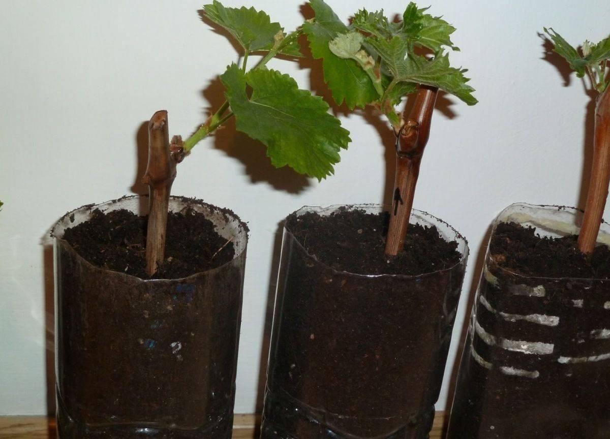 Размножение девичьего винограда черенками: нет ничего проще!