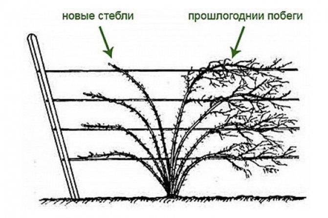Размножение ежевики: простые, проверенные и надёжные способы