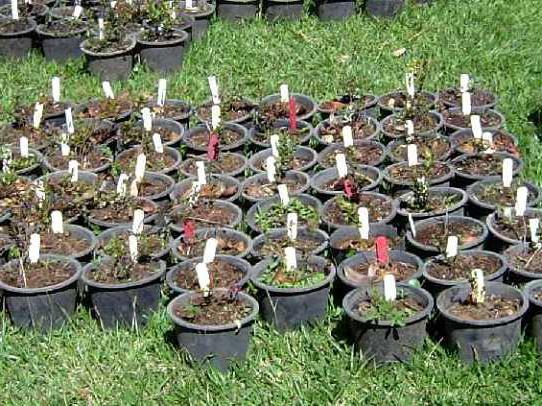 Как размножить голубику садовую черенками?