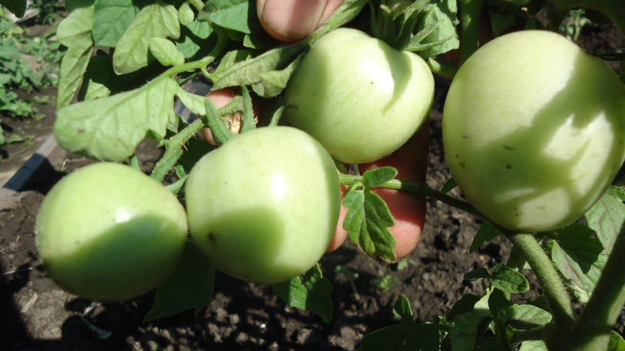 Все о томате яблочном: агротехника, характеристики и описание сорта