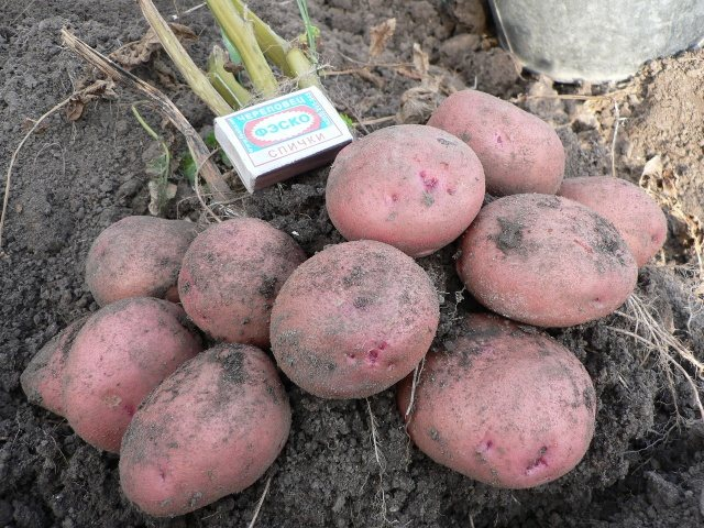 Картофель «журавинка» описание сорта, фото, отзывы