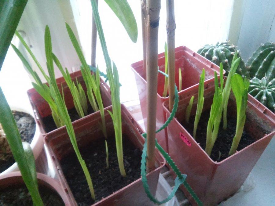 Как посадить и ухаживать за фрезией в открытом грунте: сорта, полив, удобрение
