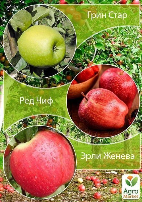 Яблоня сорта «ред чиф»: описание, фото, посадка, уход