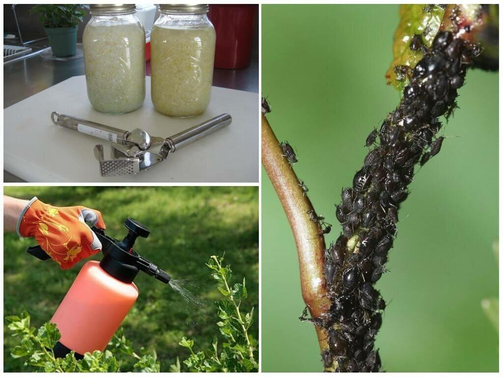Чем обработать грушу от тли