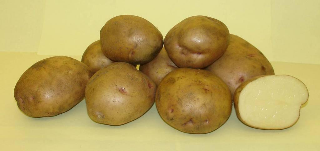 Картофель жуковский: 8 особенностей и 10 советов по выращиванию и уходу