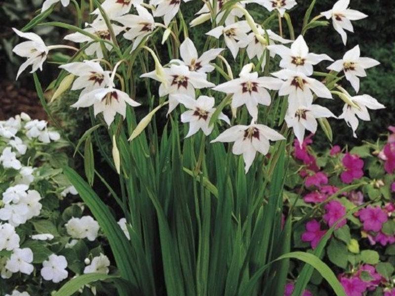 Ацидантера: посадка и уход в открытом грунте, когда сажать, когда выкапывать и как хранить, фото многолетних цветов в домашних условиях