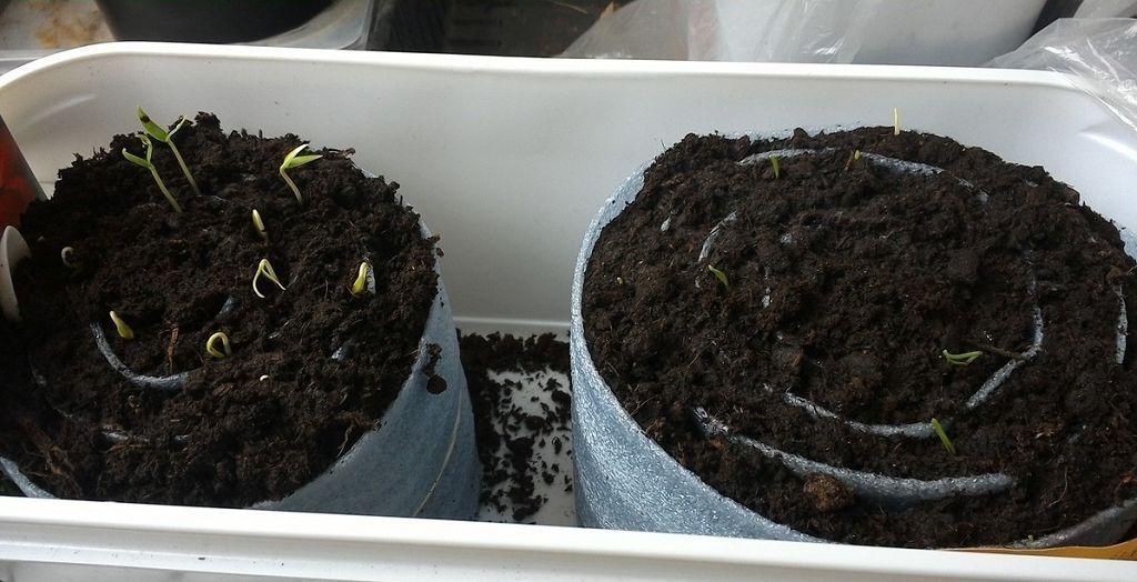 Как вырастить рассаду помидоров в городской квартире: опыт практиков и подсказки начинающим