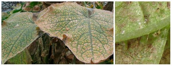 Как избавиться от жука листоеда - средства борьбы, профилактика