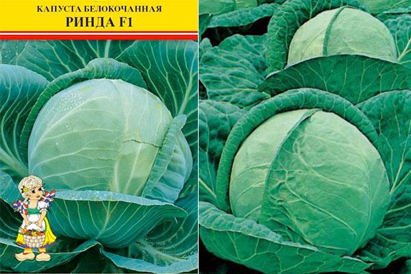 Капуста ринда: описание сорта (гибрида), фото, посадка и уход, характеристика вкусовых качеств белокачанной, когда убирать урожай, отзывы огородников