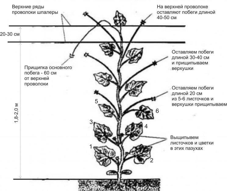 Посадка и уход за арбузами в теплице из поликарбоната, схема, видео