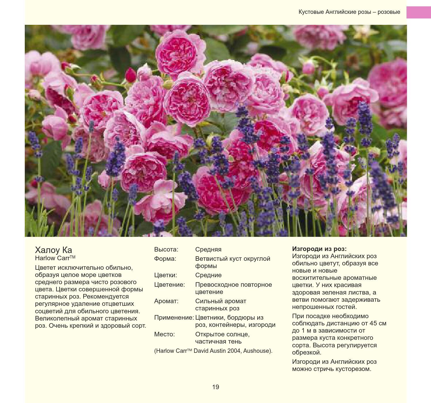 """Сорта роз с описаниями, названиями и фото - проект """"цветочки"""" - для цветоводов начинающих и профессионалов"""